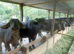 Livestock_Buffalo